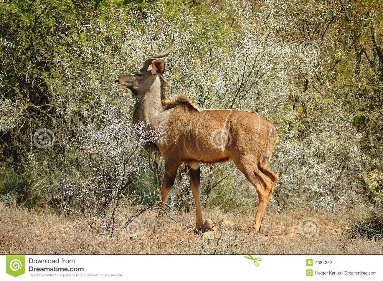Male Kudu In Bush.