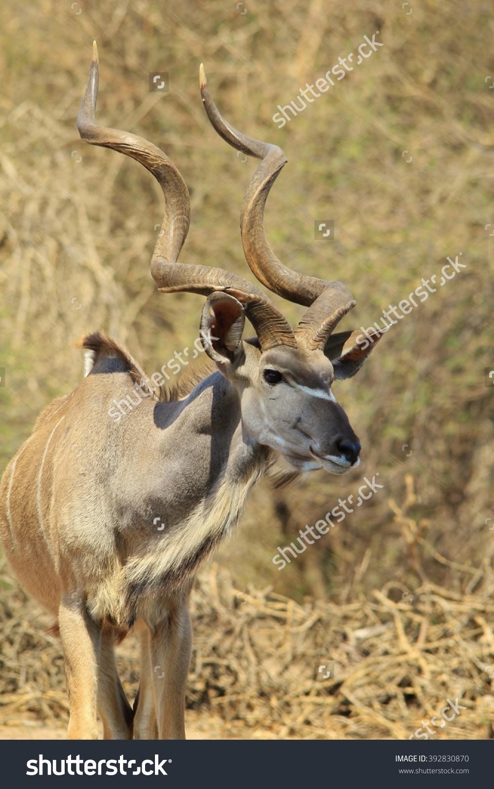 Kudu Antelope.