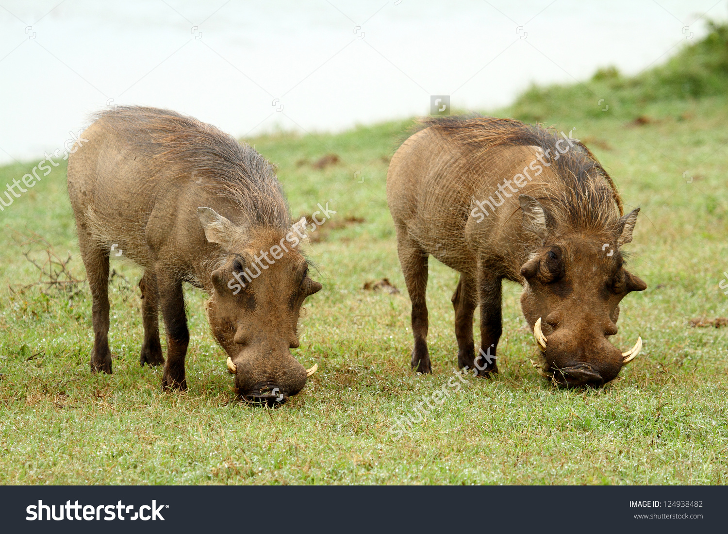 Two Warthogs Grazing In South African Bush Veld Stock Photo.