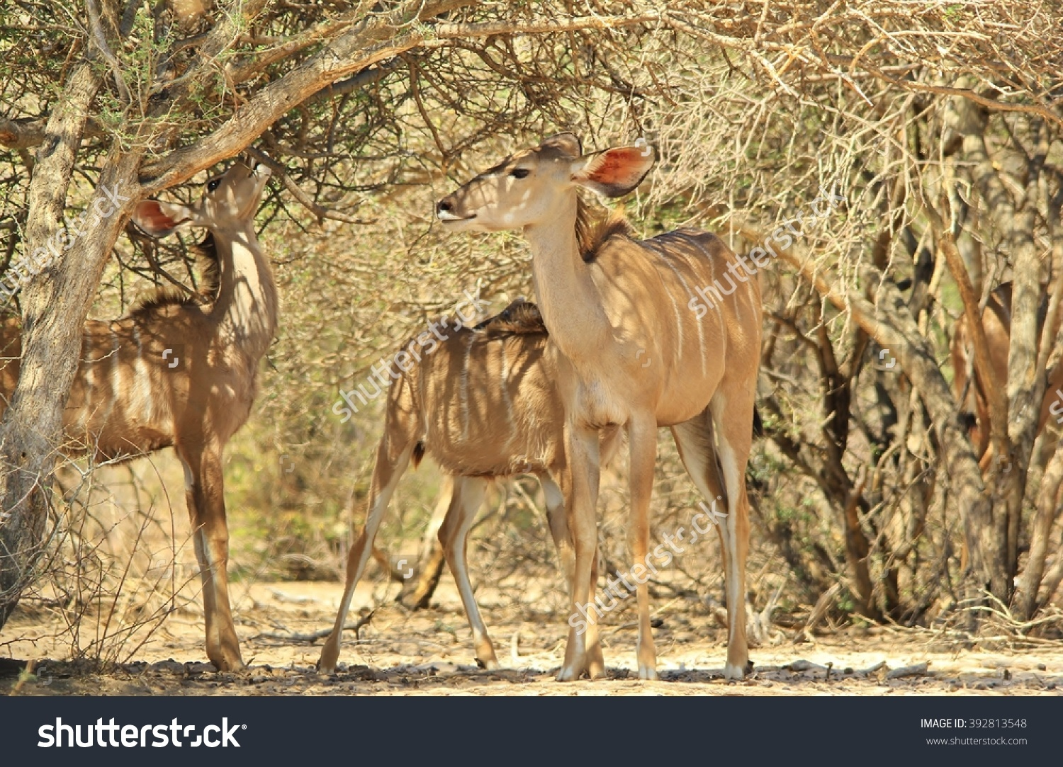 Kudu Antelope African Wildlife Background Grey Stock Photo.