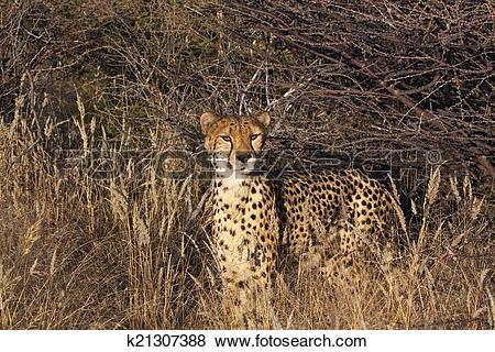 Pictures of Cheetah in the veld k21307388.