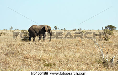 Pictures of Elephant walking on dry veldt in the sun k5455488.