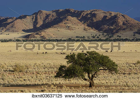 "Stock Image of ""Oryx antilopes (Oryx) grazing in a steppe."
