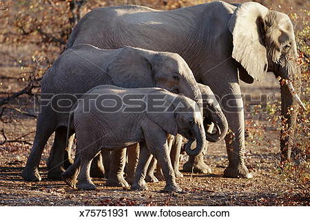 Stock Photography of African elephant herd trekking across mopane.