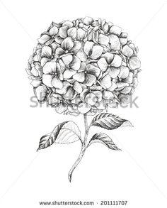 hydrangea illustration free.