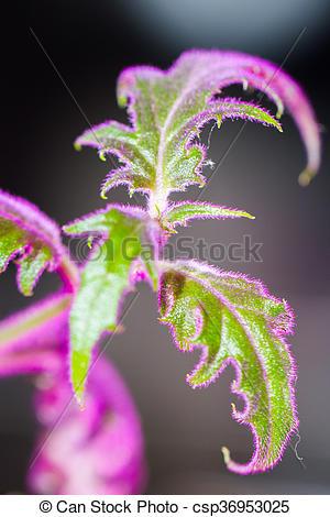 Stock Photo of Purple passion velvet houseplant.