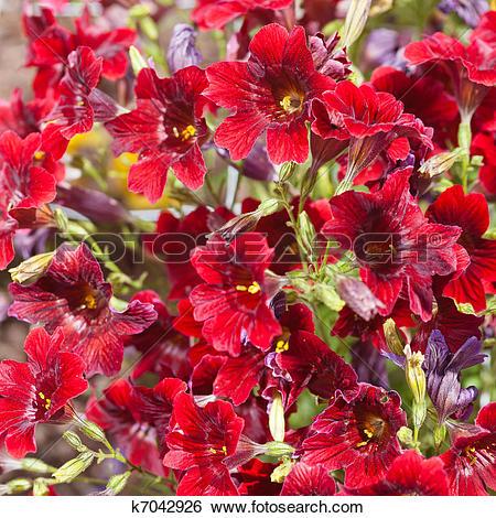 Stock Images of Velvet Trumpet Flower k7042926.