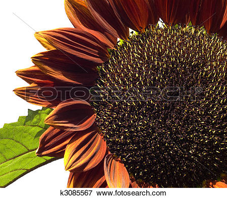 Picture of giant sunflower Helianthus annuus Royal Velvet colored.