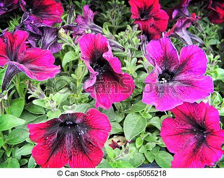Pictures of Velvet Petal Bedding Flowers.