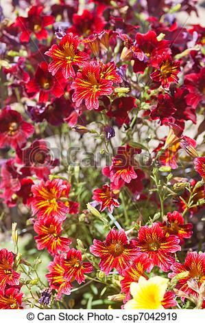 Stock Photographs of Velvet Trumpet Flower (Salpiglossis sinuata.