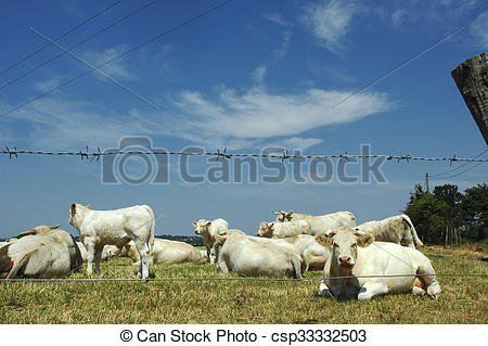 Stock Photography of White cows in Vendee (France).