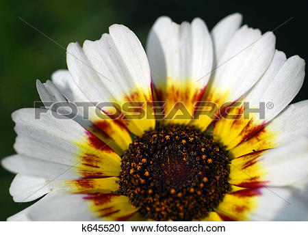 Stock Photography of white venidium daisy flower k6455201.