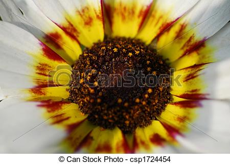 Stock Photo of white daisy Zulu Prince flower macro.
