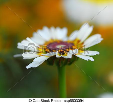 Stock Photo of white venidium daisy flower.