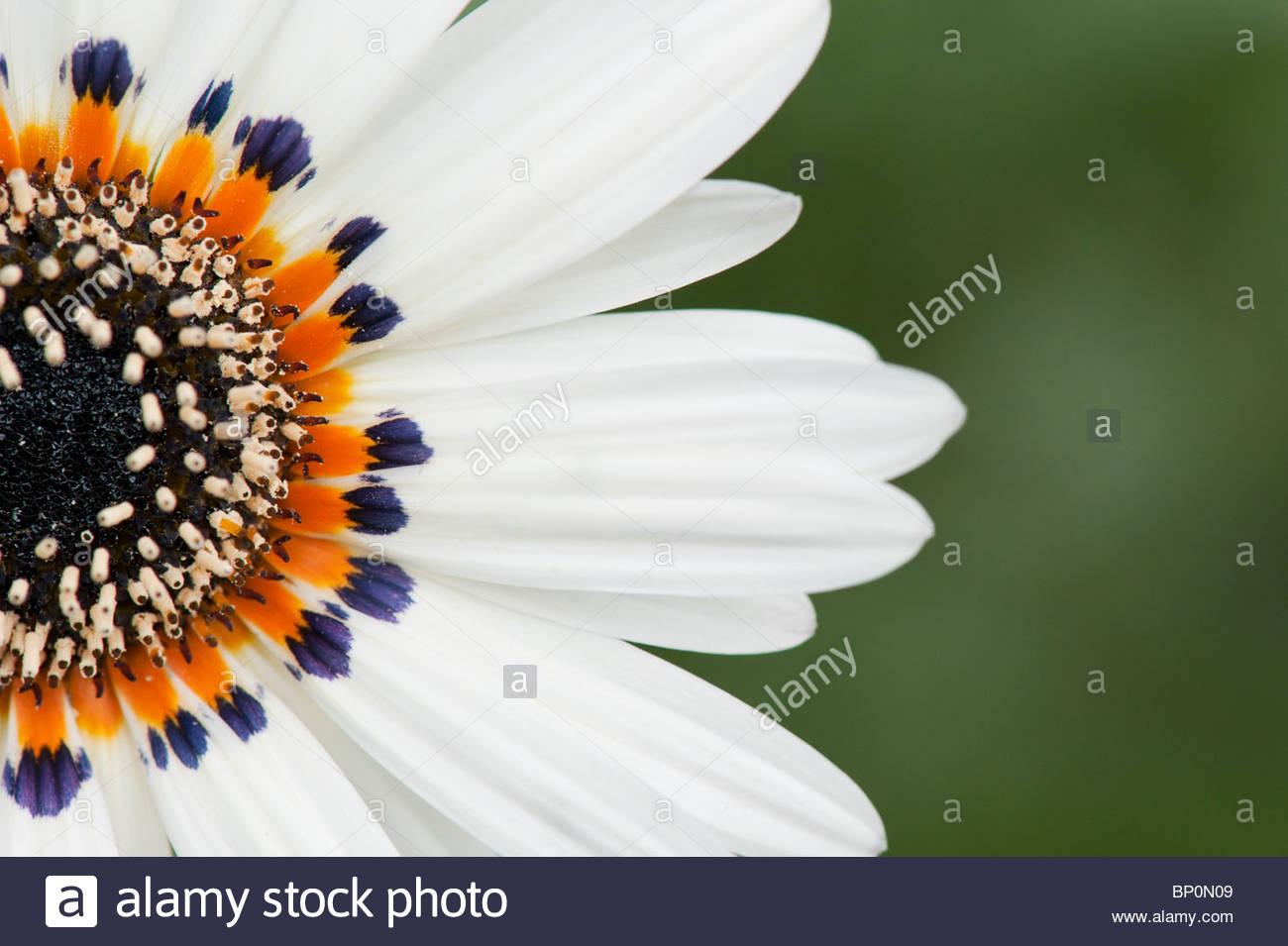 Venidium Fastuosum 'zulu Prince' Flower, Cape Daisy Stock Photo.