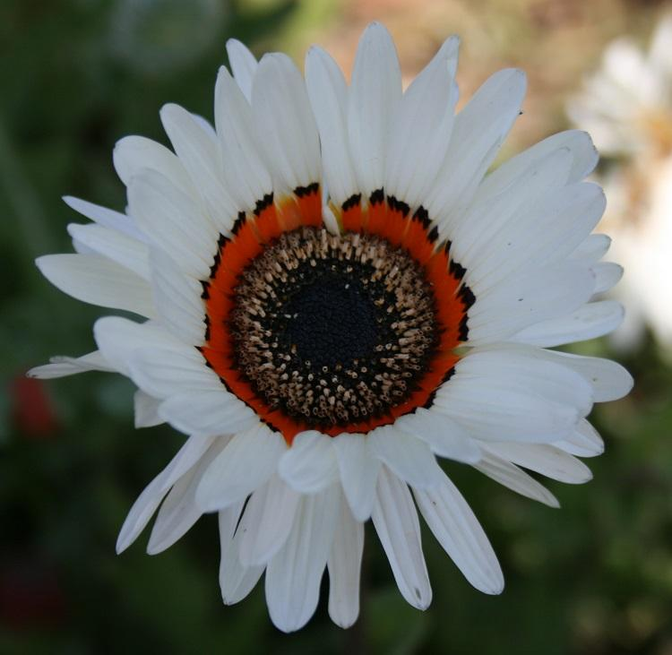 Venidium fastuosum, 'Zulu Prince' Seeds £2.48 from Chiltern Seeds.