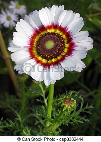 Stock Photo of white venidium Zulu Prince flower.