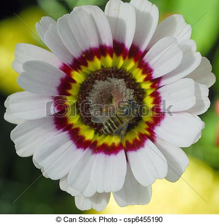 Stock Photography of white venidium daisy flower.