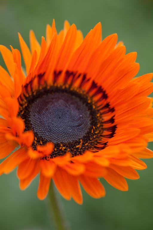 Venidium fastuosum, 'Orange Prince' Seeds £2.43 from Chiltern.