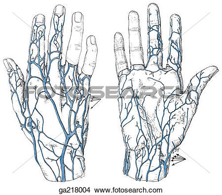 Drawings of Dorsal (left) and palmar (right) views of venous.