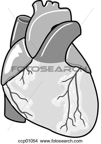 Drawings of Heart and great vessels, ventral ccp01054.