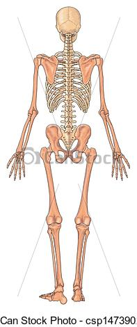 Clip Art of Human skeleton Ventral view.
