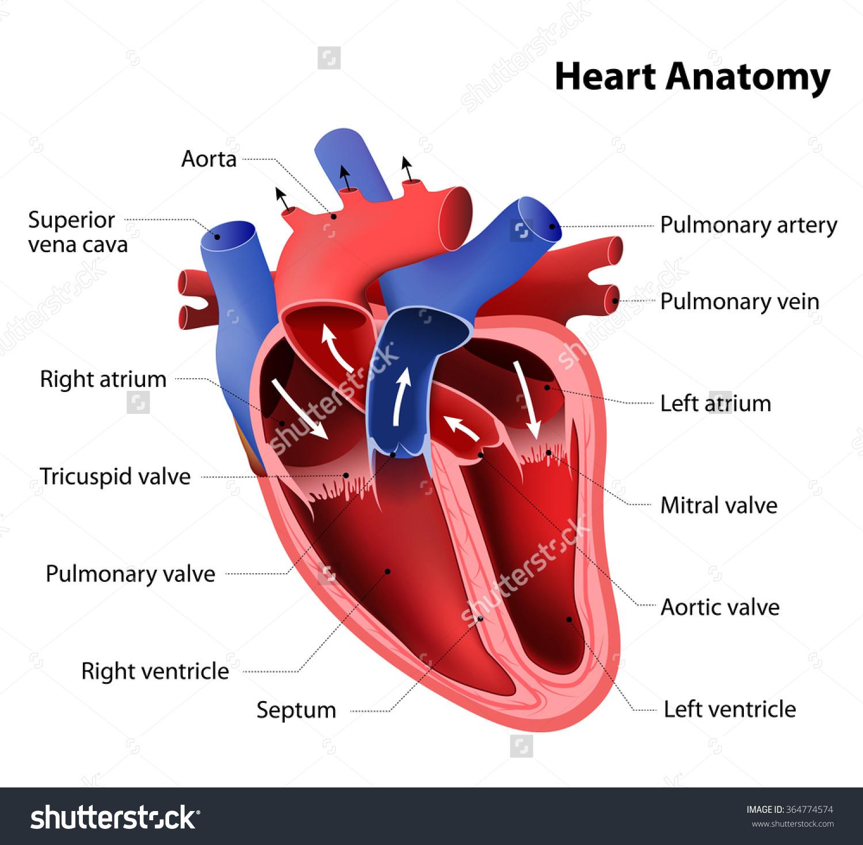 Part Human Heart Anatomy Stock Vector 364774574.