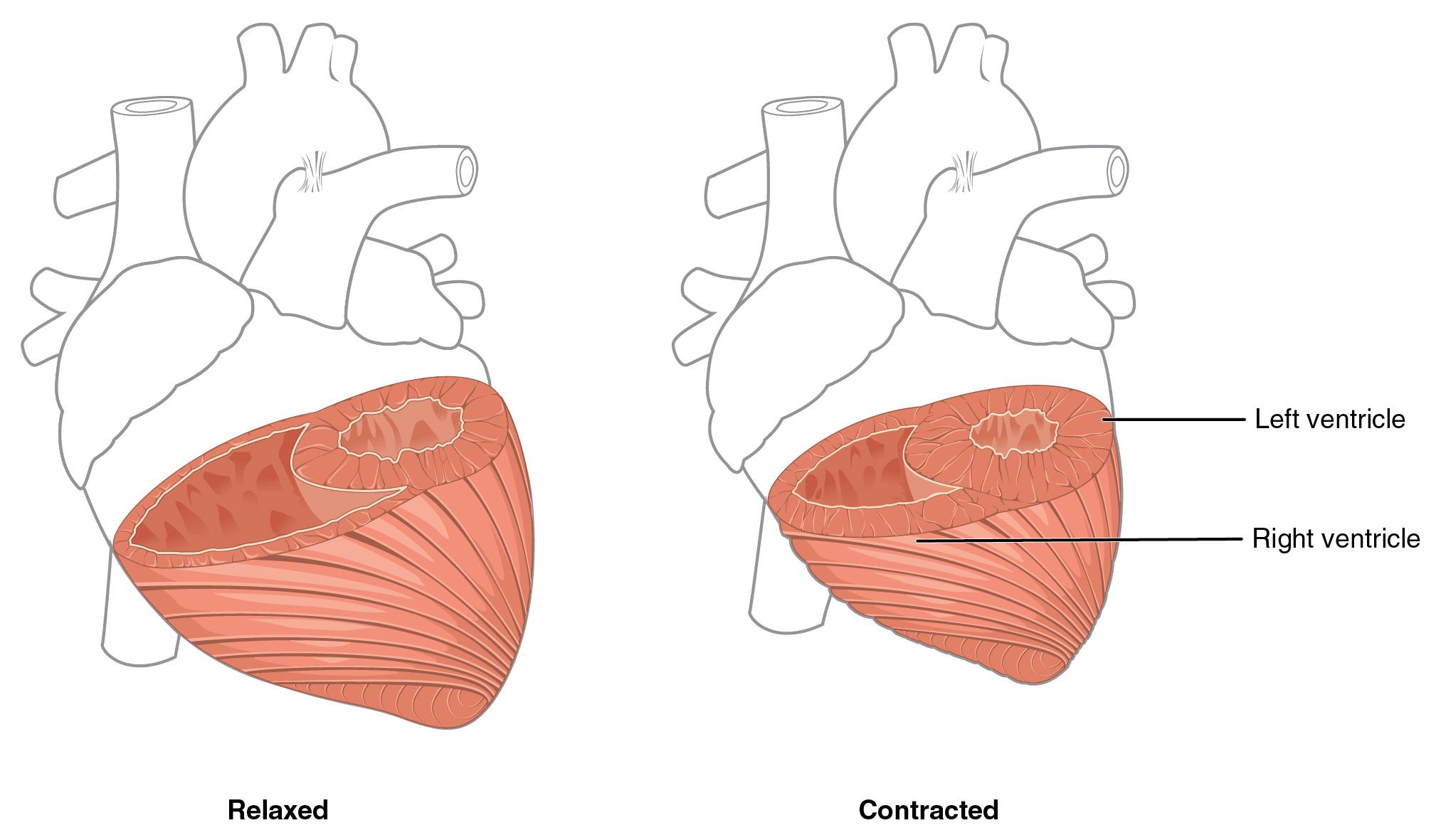 Heart Anatomy.