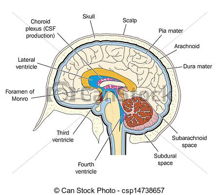 Clipart Vector of Ventricles of the brain.