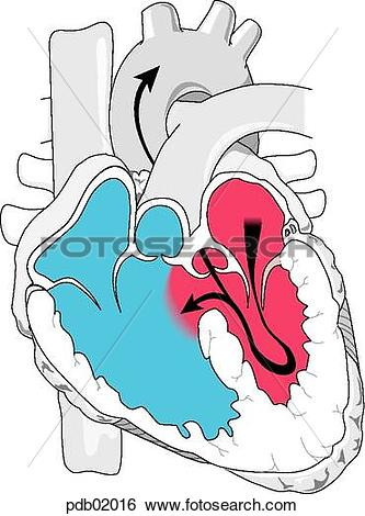 Stock Illustration of Transection view of heart showing chambers.