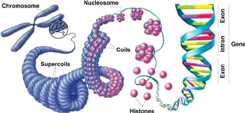 ClipgroundVer gel gene clipart