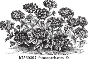 Verbena Clipart and Illustration. 20 verbena clip art vector EPS.