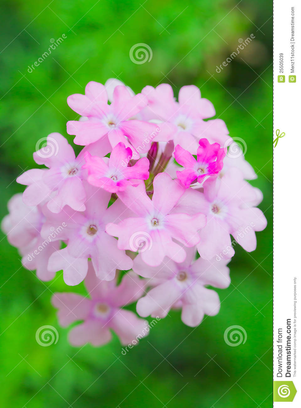 Verbena Flower Royalty Free Stock Images.