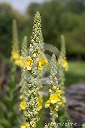 Mullein (Verbascum Thapsus) Wild Flower Stock Photo.