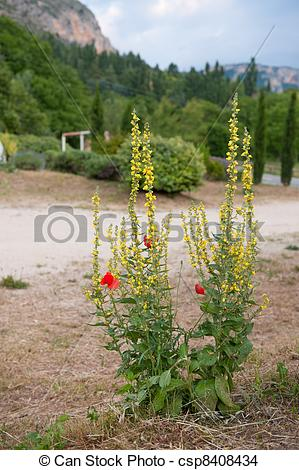 Stock Photo of Verbascum and red Poppies.