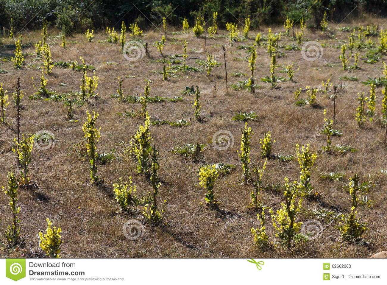 Plants And Flowers Mullein (Verbascum) Stock Photo.