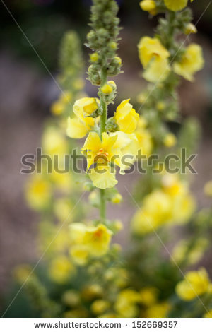 Vector Images, Illustrations and Cliparts: Verbascum densiflorum.
