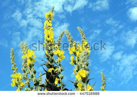 Yellow Verbascum Stock Photos, Royalty.