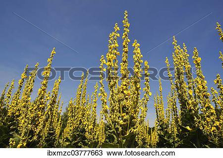 """Stock Photo of """"Denseflower mullein (Verbascum densiflorum."""
