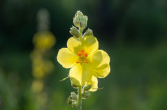 Mullein (Verbascum Thapsus) Wild Flower Stock Photo.