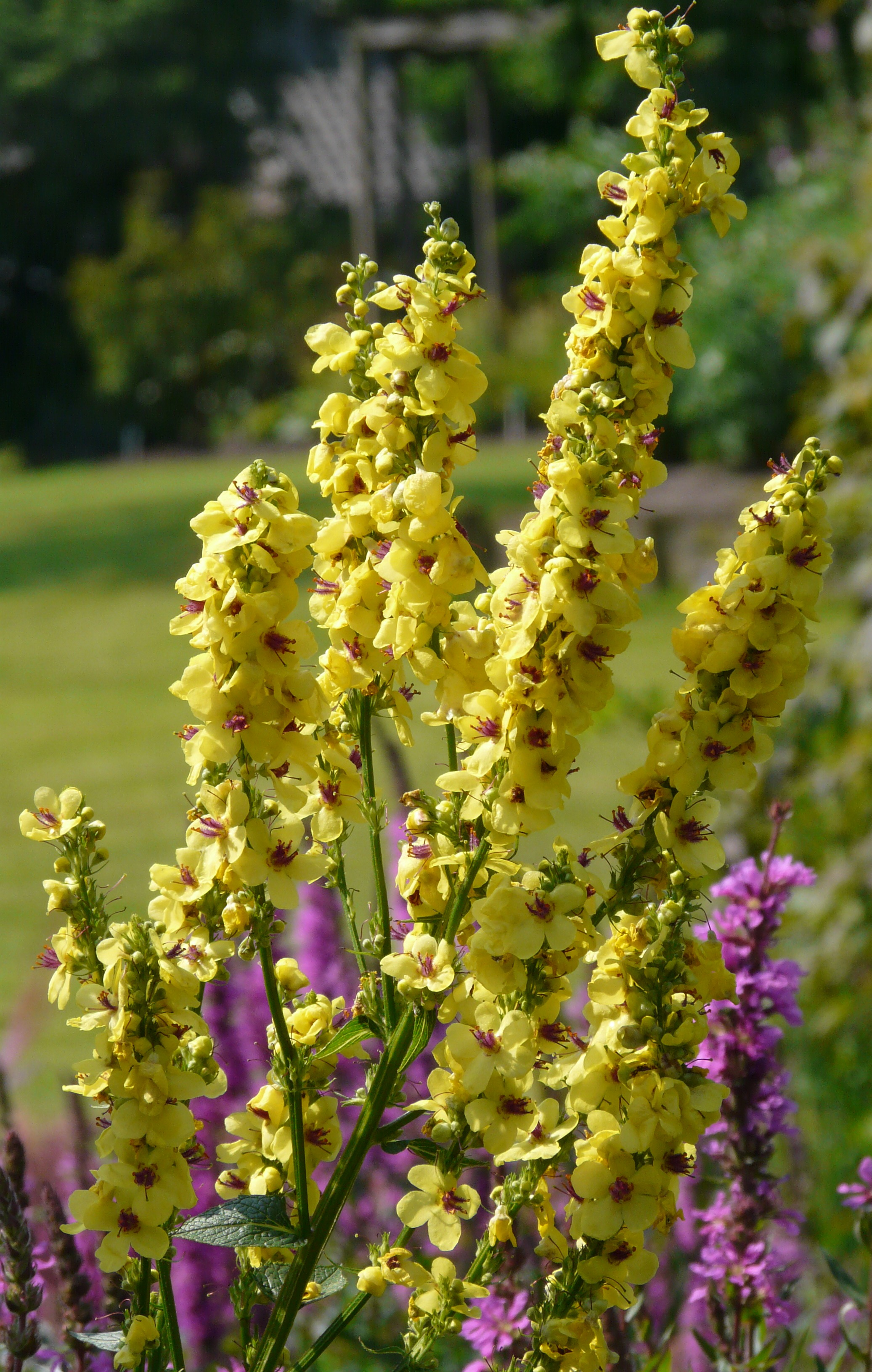 Similiar Verbascum Keywords.