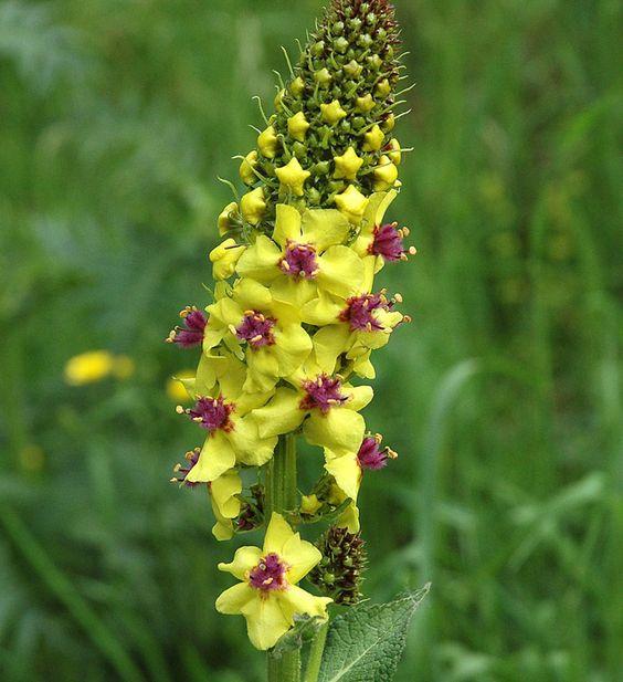 Verbascum nigrum (black mullein):.