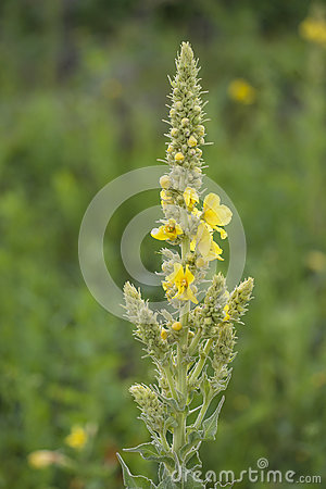 Great Mullein (Verbascum Thapsus), A Medicinal Flowering Plant In.