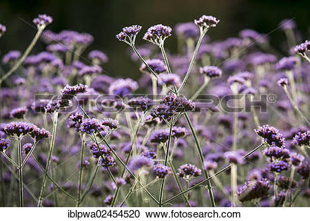 """Stock Photography of """"Purpletop Vervain, Tall Verbena or."""