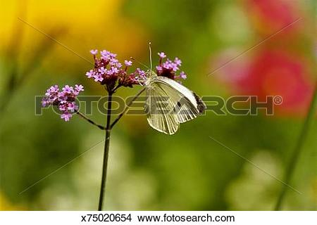 Stock Photo of Close up of a Butterfly (Pieris brassicae) resting.