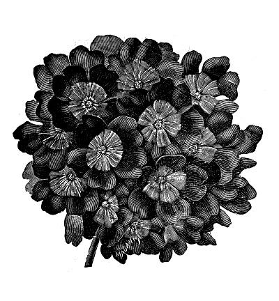Verbena Bonariensis Clip Art, Vector Images & Illustrations.