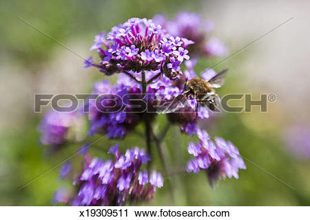 Stock Photography of Bee fly on Verbena bonariensis x19309511.