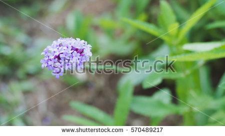 Verbena Flower Stock Photos, Royalty.