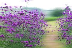 Perennial Verbena Bonariensis In Flower Stock Image.
