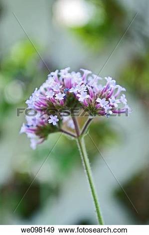 Stock Photograph of Verbena bonariensis in bloom we098149.